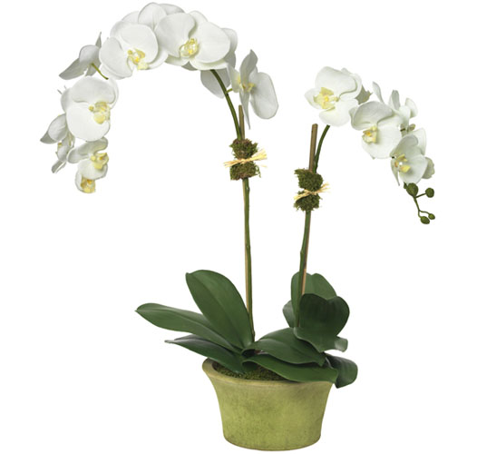 MAGNIFICENT MOTH ORCHID