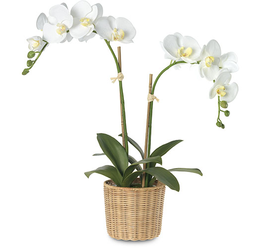 PHALAENOPSIS ORCHIDS IN WOVEN WICKER CACHEPOT