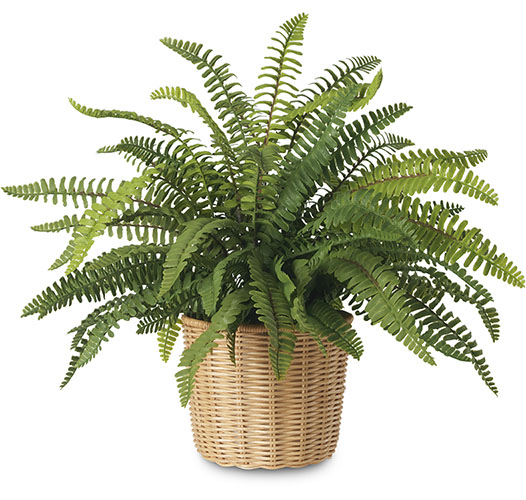 BOSTON FERN IN WOVEN WICKER CACHEPOT