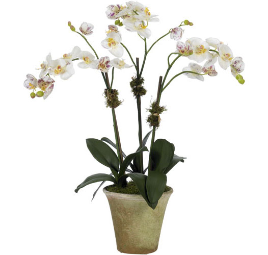 CREAM/PINK MOTH ORCHID